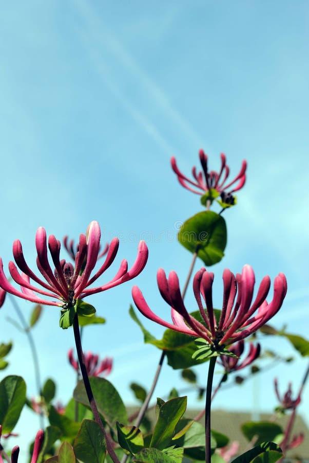 Honeysuckle flowers. Latin name Lonicera periclymenum stock photo