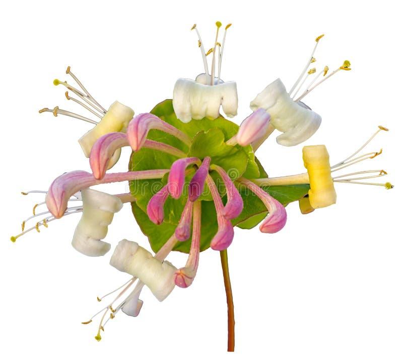 Honeysuckle Flowers fotografia stock libera da diritti