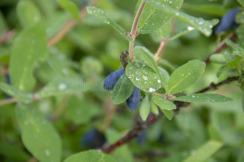 Honeysuckle harvest. Violet berry on the branches. Dew drops on honeysuckle leaves stock image
