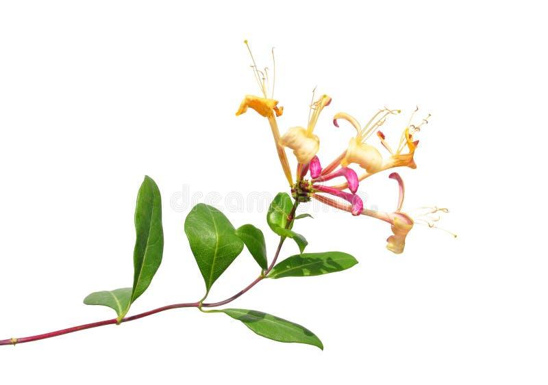 Honeysuckle (Lonicera periclymenum). Colorful and crisp image of honeysuckle (Lonicera periclymenum stock photos