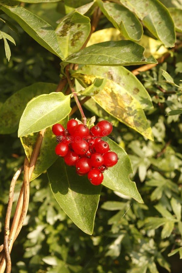 Honeysuckle, Lonicera periclymenum,. Honeysuckle, Lonicera periclymenum berries, Midlands, UK stock images