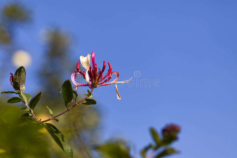 Honeysuckle - Lonicera periclymenum. In a Macro shot royalty free stock images