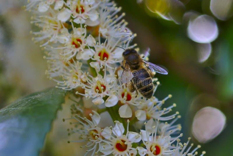 Austrian honey bee harvesting nectar royalty free stock photos