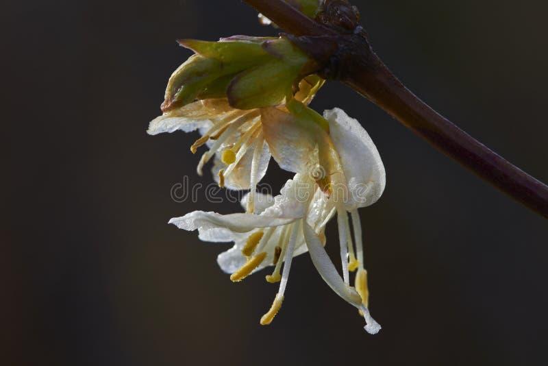 Download Honeysuckle stock image. Image of honeysuckle, scented - 36916889