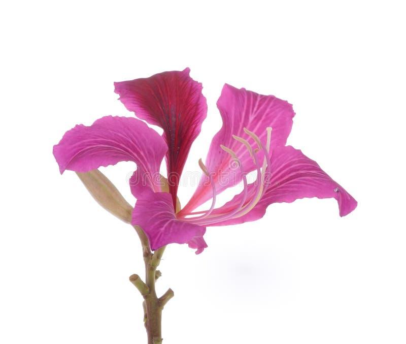 Hong Kong Orchid photos stock