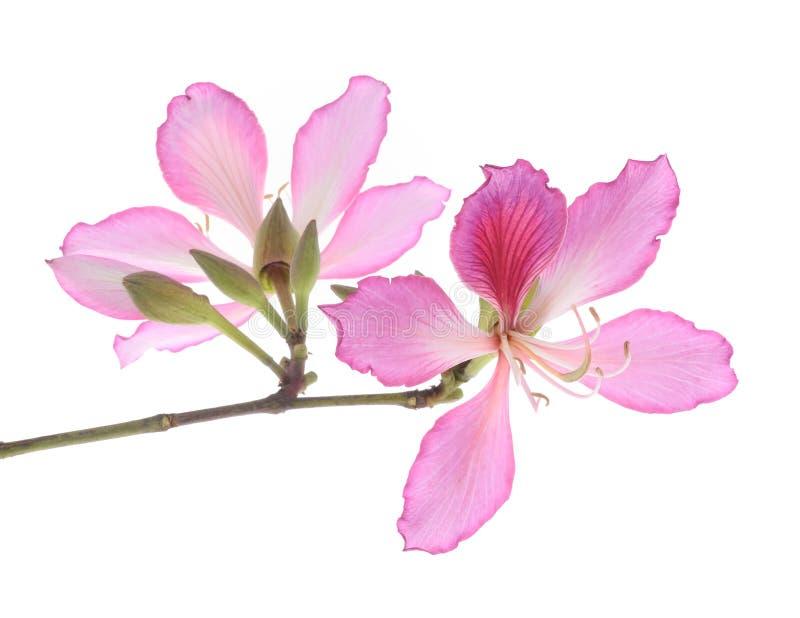 Hong Kong Orchid photo stock