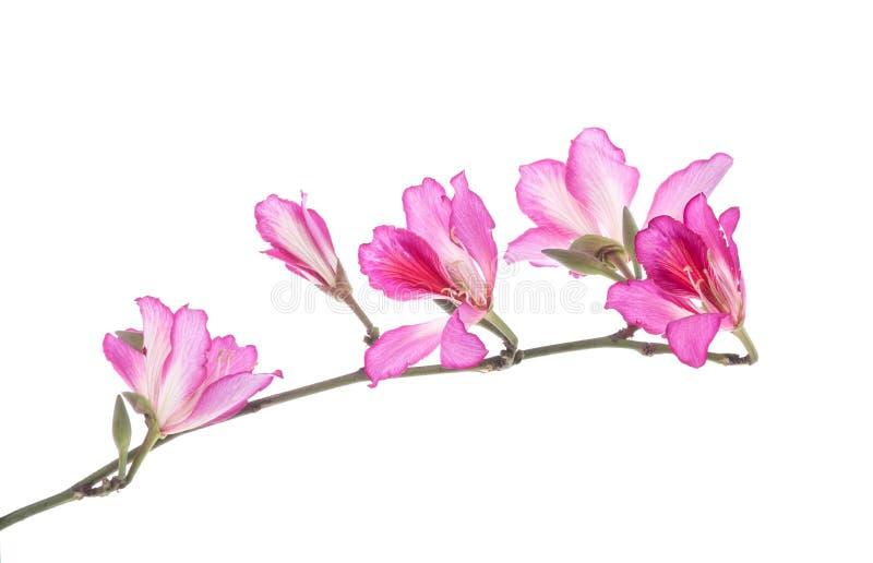 Hong Kong Orchid images libres de droits