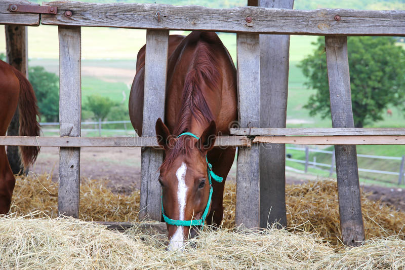 Hongaars gidranpaard die hooi in de stal eten stock foto