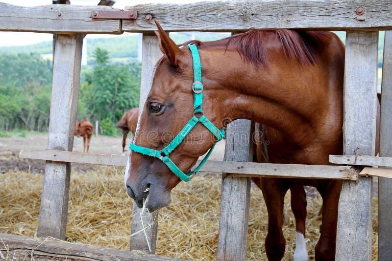 Hongaars gidranpaard die hooi in de stal eten stock afbeelding