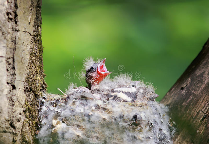 Hongerige babyvink uit het nest hun open hongerige bekkenwaitin stock foto