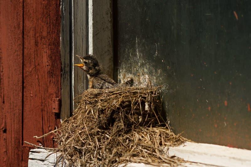 Hongerige Babyvogel in zijn nest, Amerikaanse Robin, Zuidelijk Ontario royalty-vrije stock afbeeldingen