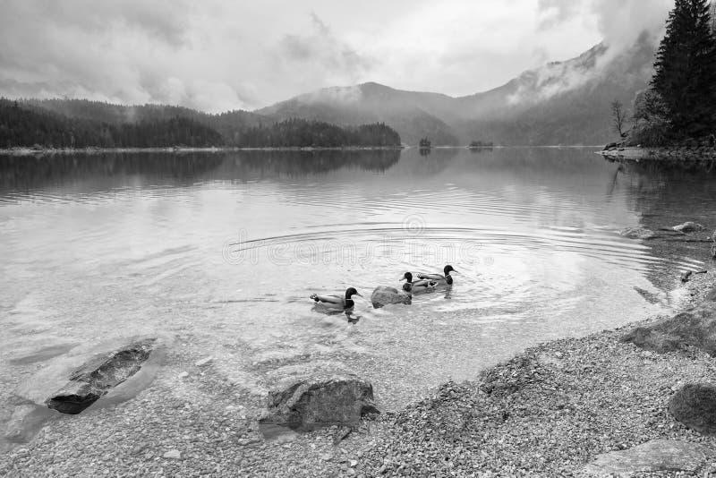 Hongerige bedwongen eend op blauwe waterspiegel Mountain Lake stock fotografie