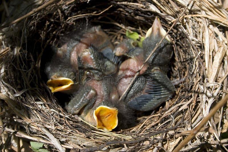 Hongerige Catbirds royalty-vrije stock foto