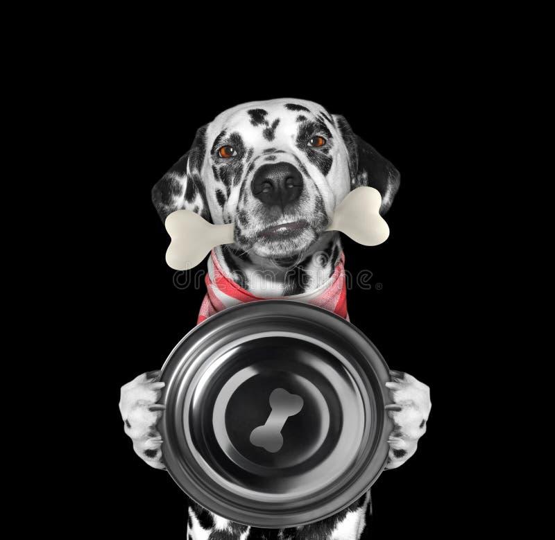 Hongerige Dalmatische hond met voedselkom en been in zijn mond Geïsoleerd op Zwarte royalty-vrije stock foto's