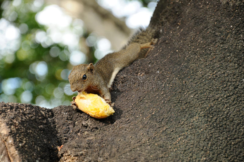 Hongerige eekhoorn stock fotografie