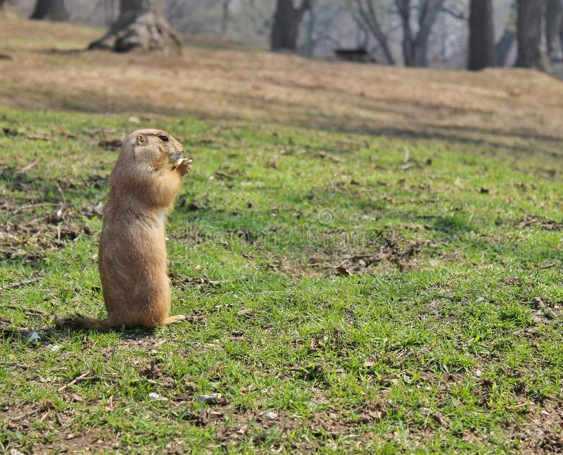 Hongerige groundhog royalty-vrije stock foto