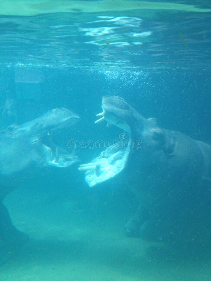 Hongerige hippos royalty-vrije stock fotografie