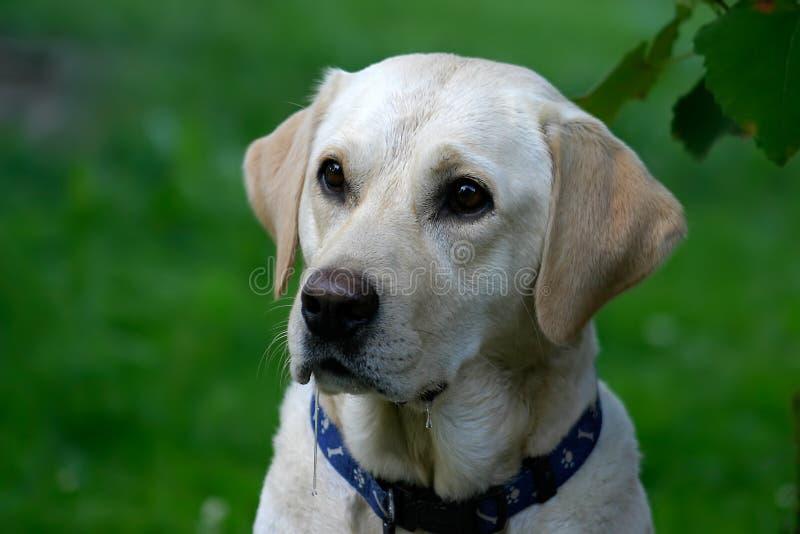 Download Hongerige Hond stock foto. Afbeelding bestaande uit laboratorium - 26366
