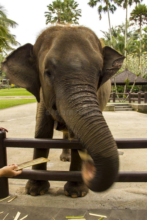 Hongerige olifant stock foto's