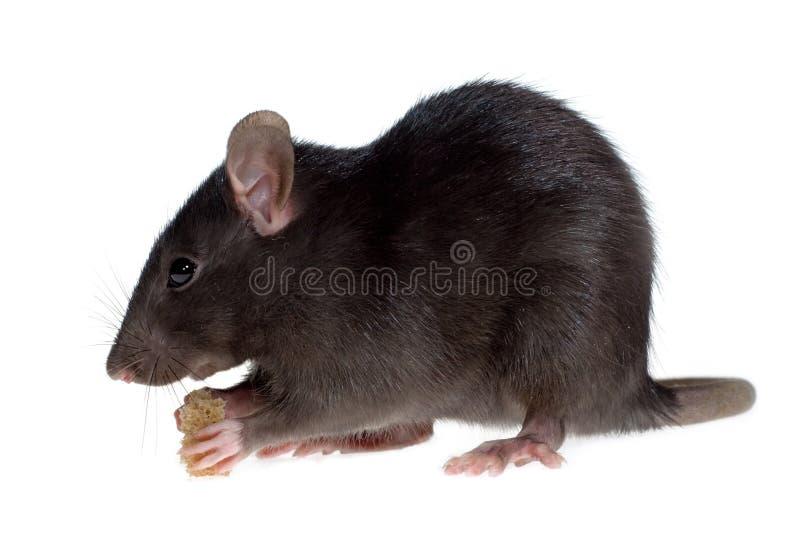 Hongerige rat stock afbeelding