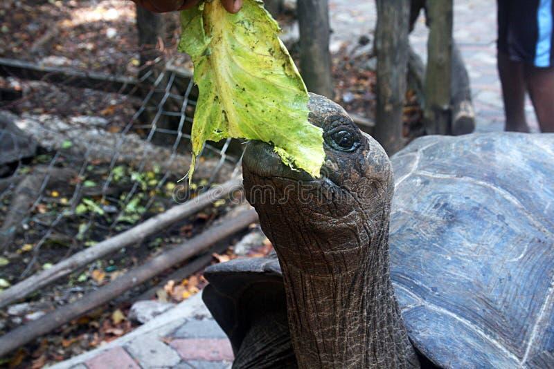 Hongerige schildpad stock afbeelding