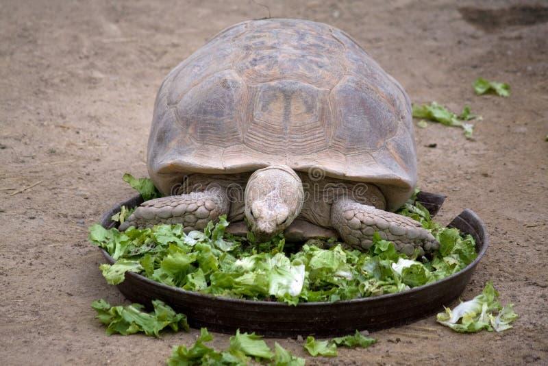 Hongerige schildpad stock afbeeldingen