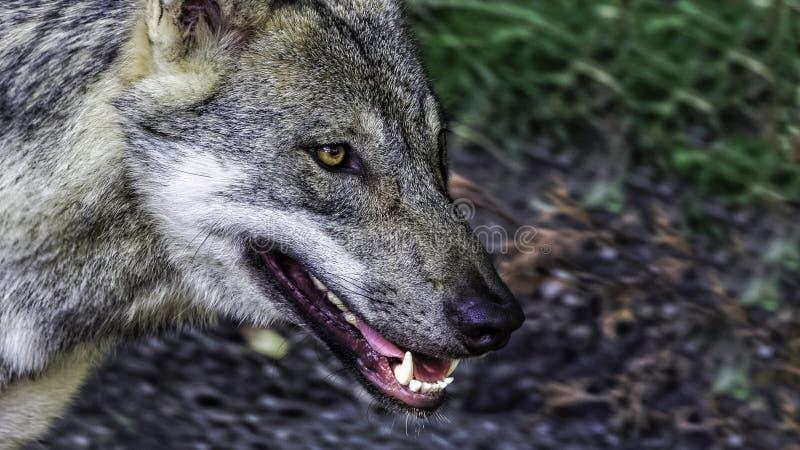 Hongerige vrouwelijke Skandinavische wolf stock afbeeldingen