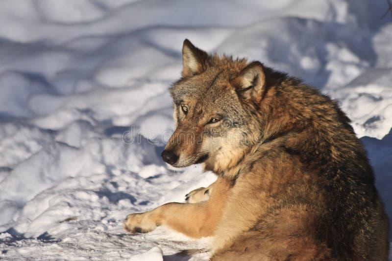 Hongerige Wolf Royalty-vrije Stock Fotografie