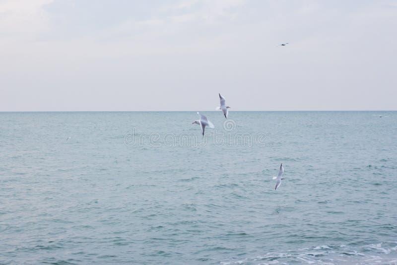 Download Hongerige Zeemeeuwen Die In Het Overzees Duiken Stock Foto - Afbeelding bestaande uit blauw, vissen: 107700420
