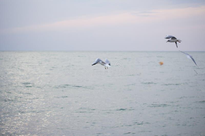 Download Hongerige Zeemeeuwen Die In Het Overzees Duiken Stock Foto - Afbeelding bestaande uit dier, oceaan: 107700596