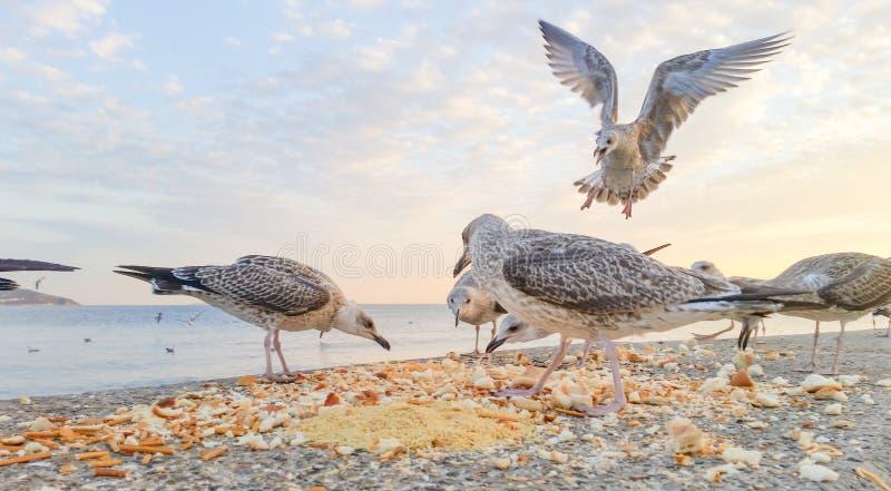 Hongerige zeemeeuwen die voor voedsel vechten stock foto