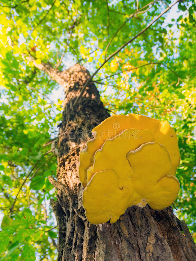 Hongo amarillo en un árbol imagen de archivo libre de regalías