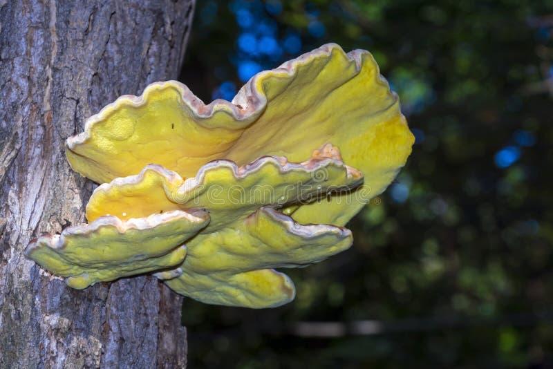 Hongo amarillo en un árbol foto de archivo