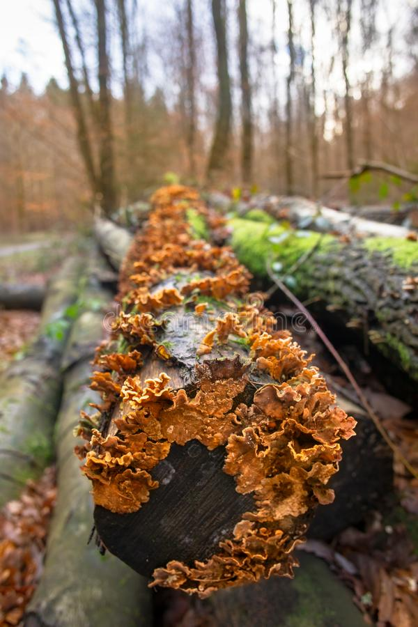 Hongo anaranjado en un árbol muerto imágenes de archivo libres de regalías