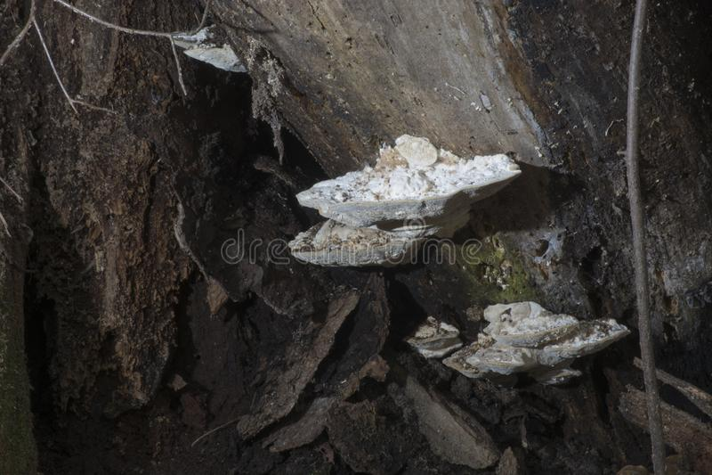 Hongo blanco en árbol de la descomposición imágenes de archivo libres de regalías