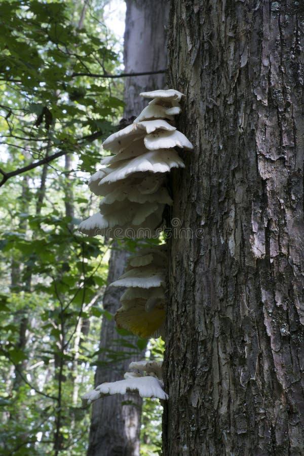 Hongo de estante que crece en árbol vivo imagen de archivo libre de regalías