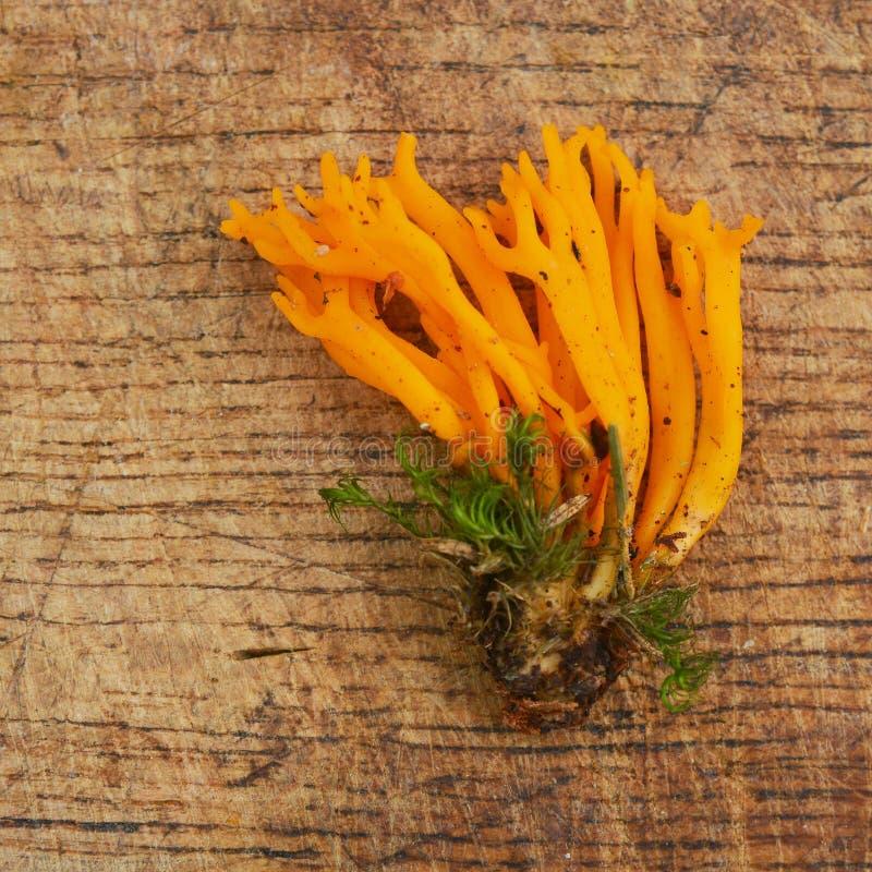 Hongo de jalea del viscosa de Calocera fotos de archivo