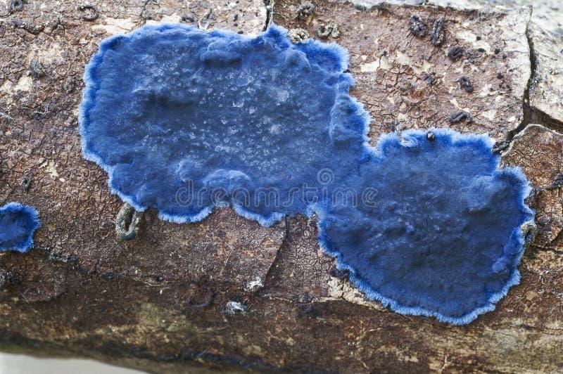 Hongo de la corteza del cobalto fotografía de archivo