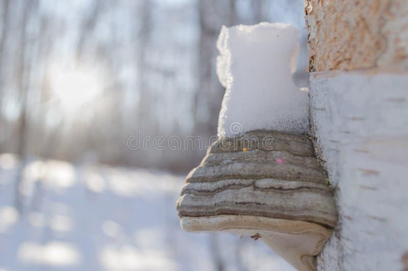 Hongo de la madera fotografía de archivo libre de regalías