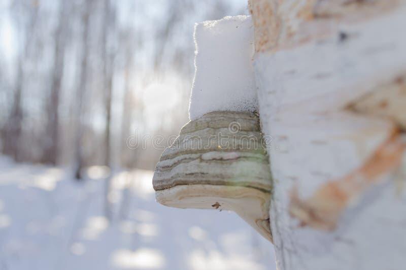 Hongo de la madera foto de archivo