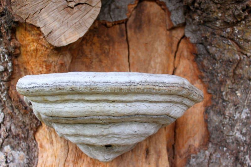 Hongo de la yesca en tronco de árbol foto de archivo