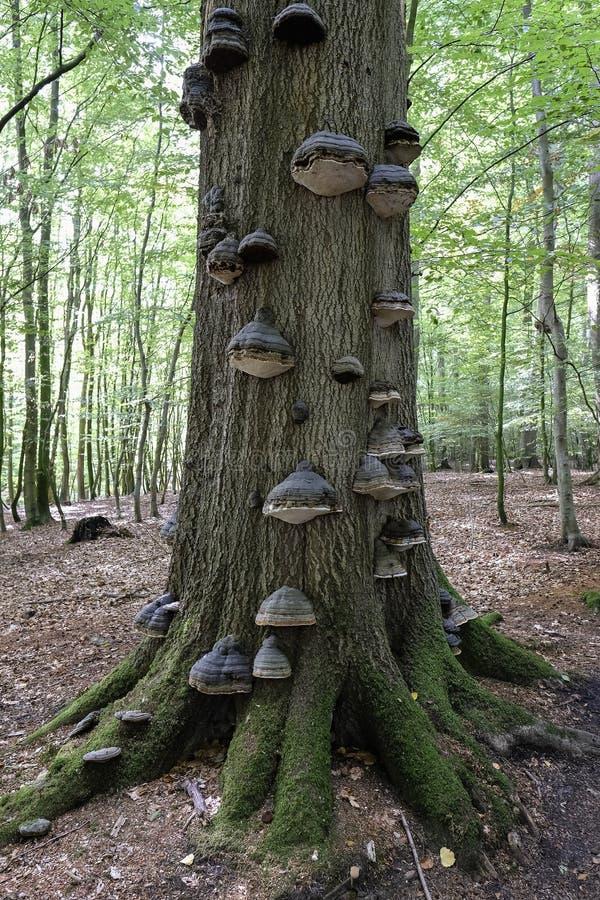 Hongo de la yesca - fruta bodie en un tronco de árbol imagen de archivo