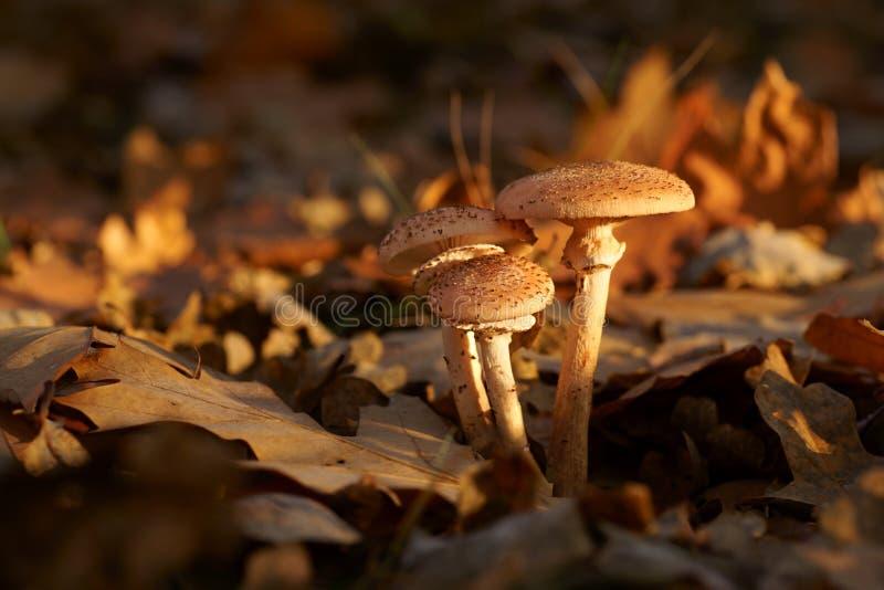Hongo de las setas, de miel y x28; Armillaria& x29; otoño fotos de archivo