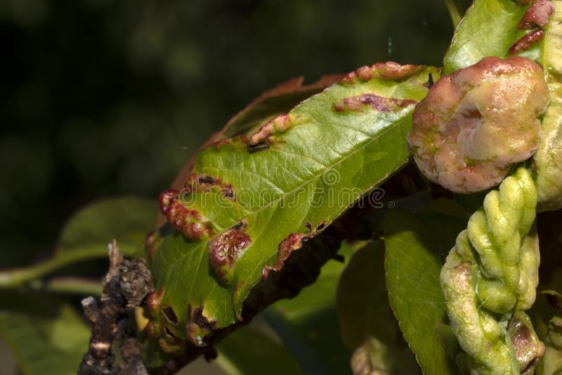 Hongo de los deformans de Taphrina en la hoja del árbol de melocotón fotos de archivo