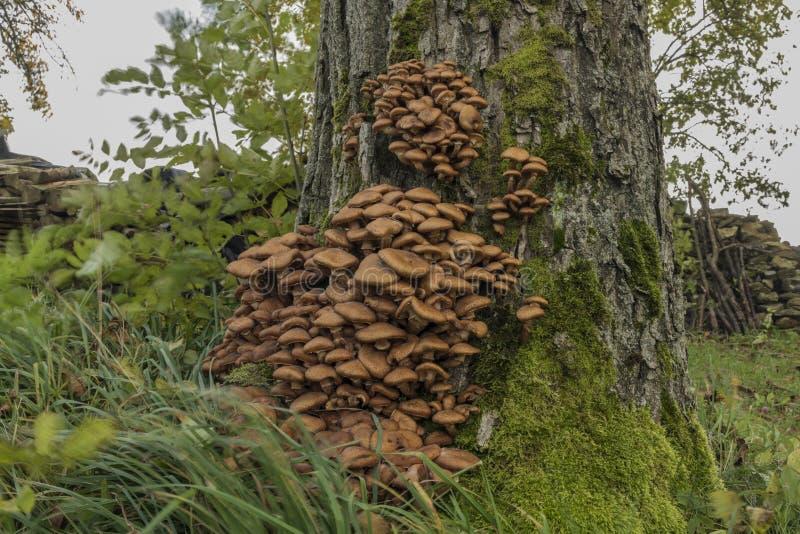 Hongo de miel en árbol en hierba del viento imágenes de archivo libres de regalías