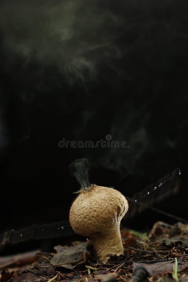Hongo del Puffball en bosque imagen de archivo