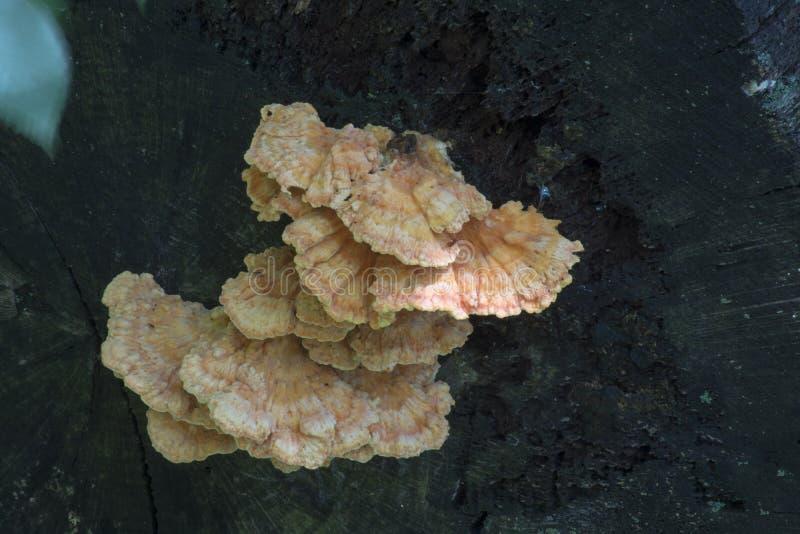 Hongo en abanico en árbol muerto imagen de archivo