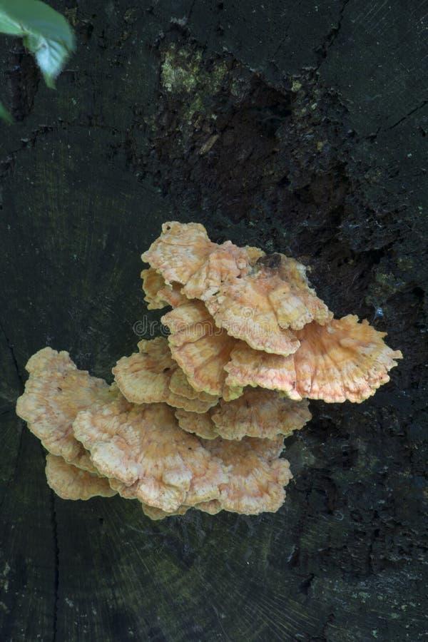 Hongo en abanico en árbol muerto fotos de archivo