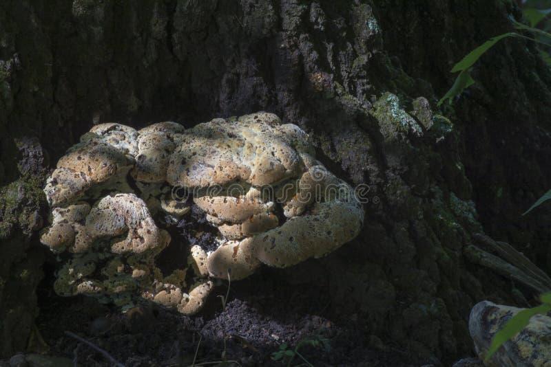 Hongo grande en la base del árbol fotografía de archivo