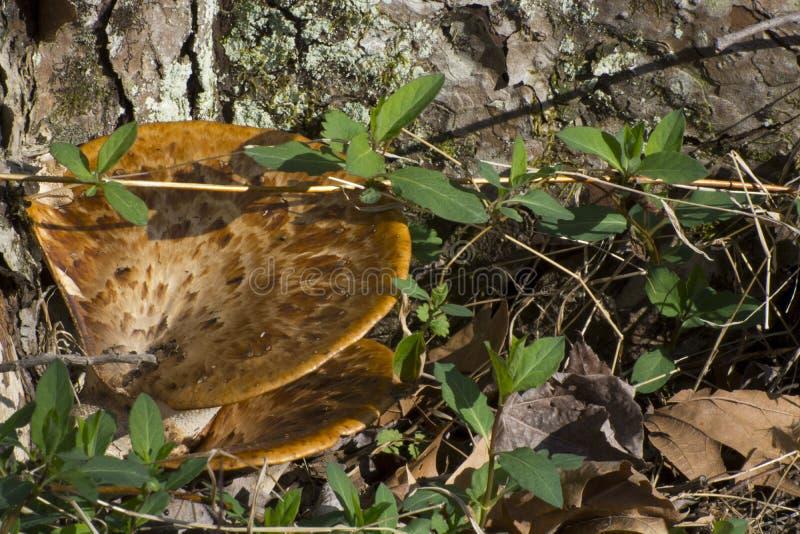 Hongo temprano de la primavera en un árbol imagenes de archivo